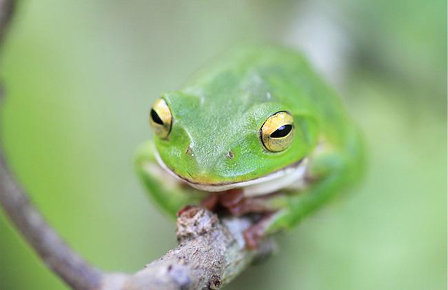 モリアオガエル(森青蛙)