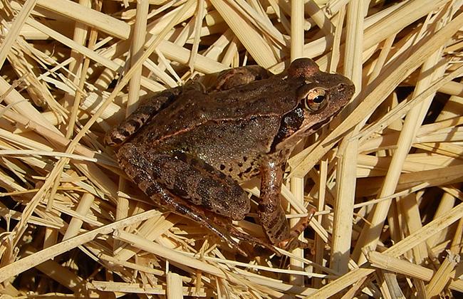 ヤマアカガエル(山赤蛙)