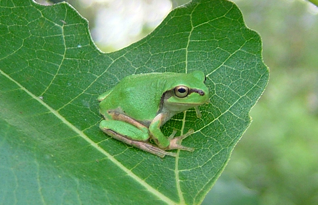 ニホンアマガエル(日本雨蛙)
